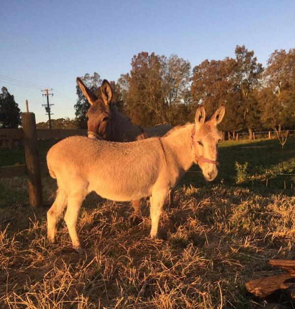 A portrait of two lost donkeys